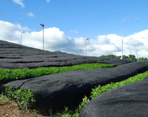 玉露 茶畑